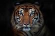 canvas print picture - Angry tiger,Sumatran tiger (Panthera tigris sumatrae) beautiful animal and his portrait