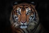 Wściekły tygrys, tygrys sumatrzański (Panthera tigris sumatrae) piękne zwierzę i jego portret - 210545946