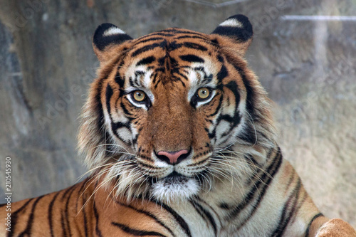 Stampa su Tela Angry tiger,Sumatran tiger (Panthera tigris sumatrae) beautiful animal and his p
