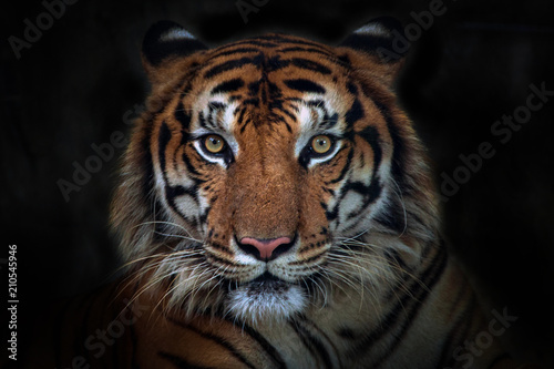 In de dag Tijger Angry tiger,Sumatran tiger (Panthera tigris sumatrae) beautiful animal and his portrait