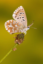 Common Blue Butterfly On Carrot