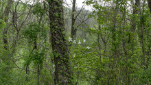 White Oak Tree Quercus Alba Co...