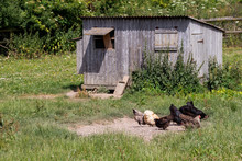 Chickens And Chicken Coop
