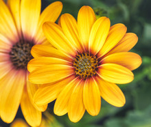 African Cape Daisy Blooms, Fine Art Still Life Flower Colorful Macro Of A Wide Open Blooming Yellow Marguerite Blossom On Green Natural Background