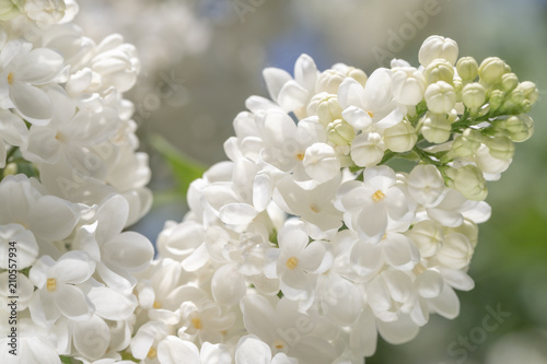 Canvas-taulu fresh blossomed white lilac with green leaves.