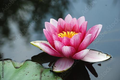 Foto op Canvas Waterlelies eine Seerose