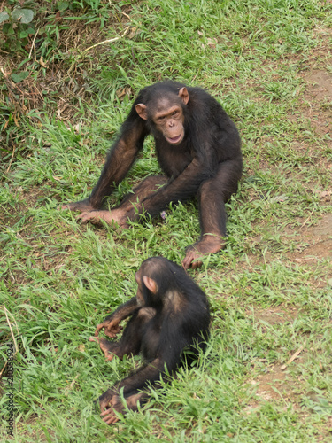 Chimpanzee consists of two extant species: the common