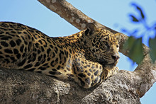 Jaguar Resting In A Tree. Pant...