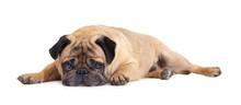 Dog Breed Pug