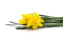 Three Yellow Beautiful Daffodi...