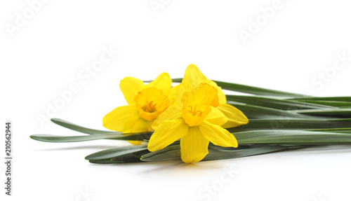 Three yellow beautiful daffodils. Canvas Print