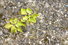 Weeds On A Gravel Path In Clos...