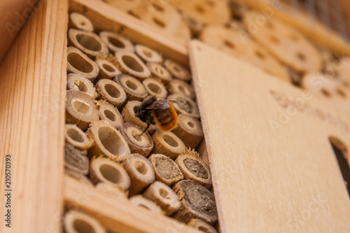 Fotografia, Obraz  Close up of a wild bee building its home in a wooden bee hotel hanging on the outside wall of a house
