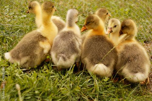 Fotografie, Obraz  Oisons - Bébé de l'oie flamande