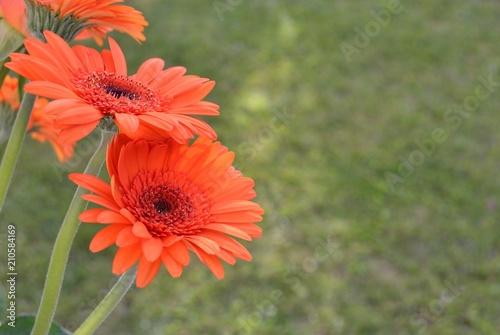 Papiers peints Marguerites Marguerite fleurs orange