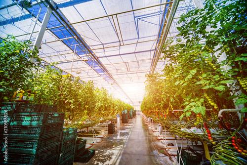 Modern greenhouse with tomato plants. Fototapeta
