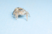Jumping Spider Isolated On Blue Background