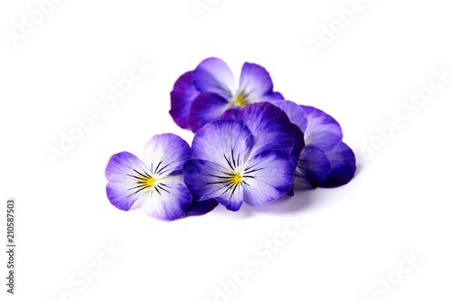 Fotografie, Obraz  blue edible flowers of viola