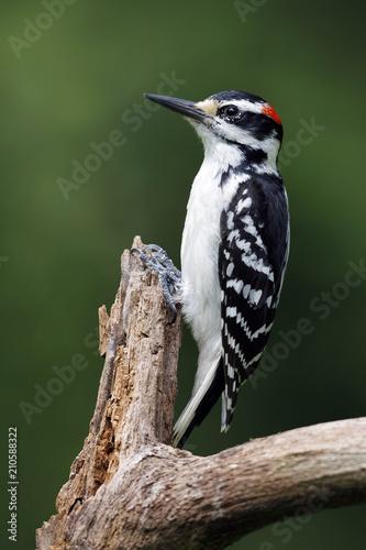 Cuadros en Lienzo Male Hairy Woodpecker on a dead tree branch