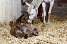 Mother Mare And Foal Birth