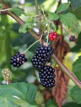 Ripe And Ripening Summer Blackberries.