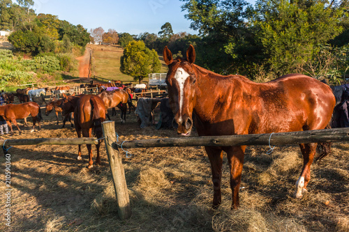 Horses Dozens Grouped Together Outdoor Paddocks Poster