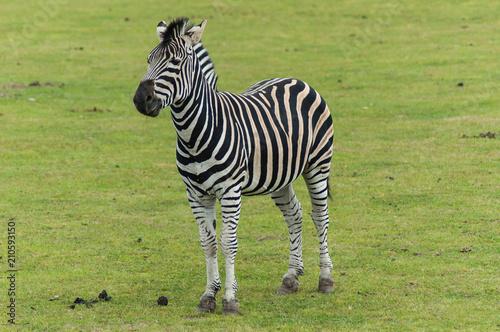 Tuinposter Zebra Standing Zebra