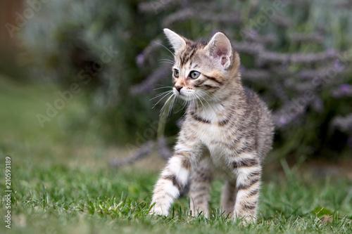 Keuken foto achterwand Kat Small gray striped european shorthair cat plays in the garden