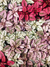 White, Red And Pink Foliage, Hypoestes Phyllostachya, Garden Plant, Known As Polka Dot Plant.
