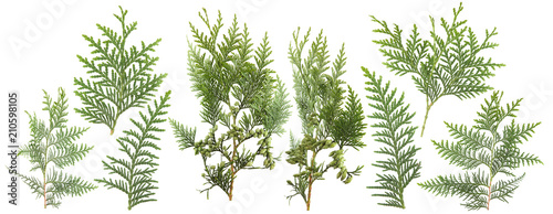 Fotografering fresh green isolated conifer leaves on white, can be used as template for decora