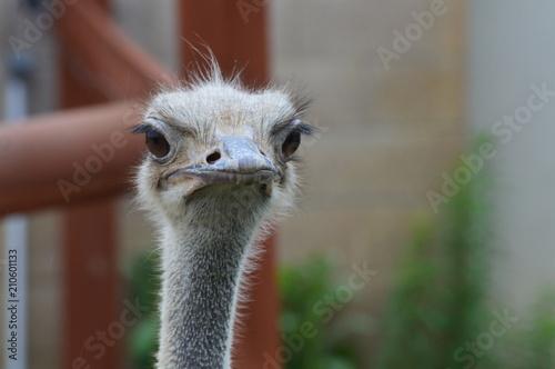 In de dag Struisvogel Close up of an ostrich