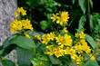 Tojeść pospolita (Lysimachia vulgaris) - żółty polny kwiat