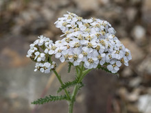 Yarrow Wildflower In Alaska