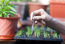 Pruning Seedling In Seedling T...