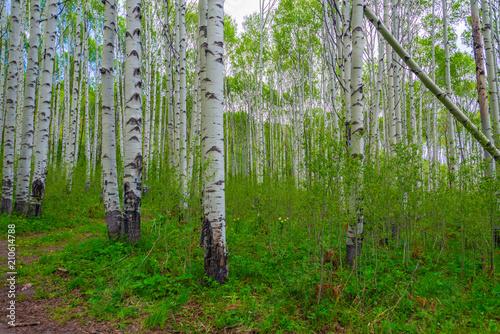 forest aspens