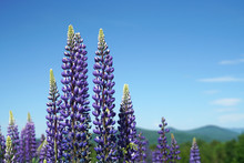 Lupine Blossom In Spring In Wild Area