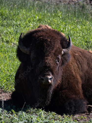 Fotobehang Bison Vertical Close Up of the Head and Chest of an American Bison that is lying on the ground.