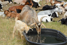 Mother Nanny Goat With Baby Kid Goat Drinking Water Together From Large Plastic Tough Tub With Herd Resting On Hot Summer Day In Background