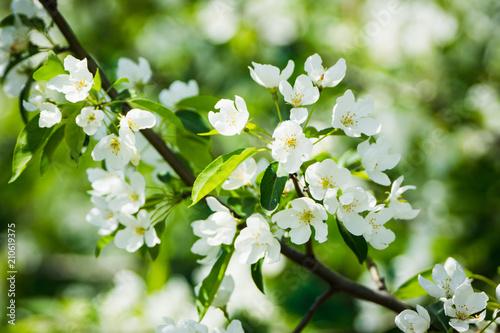 Blooming apple tree in the garden. Selective focus.