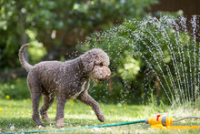 Brown Dog Playing With A Water...
