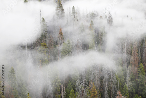 Fototapeten Wald Pine tree forest in white clouds