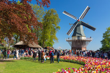 Blooming Colorful Tulips Flowerbed In Public Flower Garden Keukenhof With Windmill. Popular Tourist Site. Lisse, Holland, Netherlands
