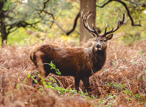 Poster Deer Wild Stag in Richmond Park London