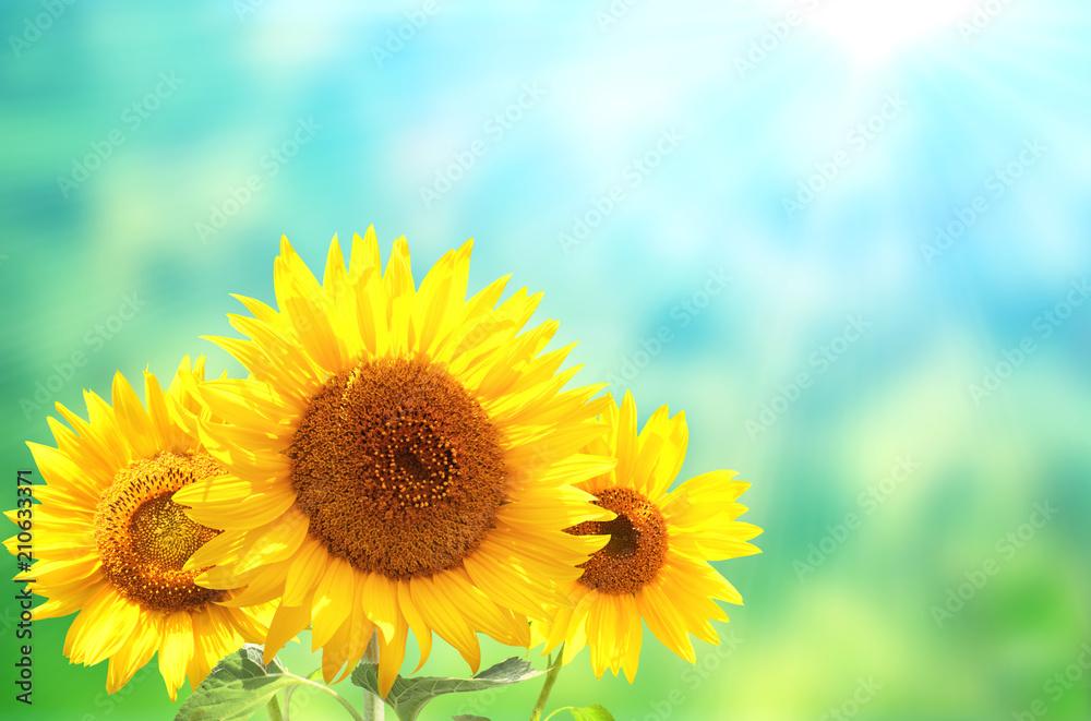 Three sunflowers on blurred sunny background