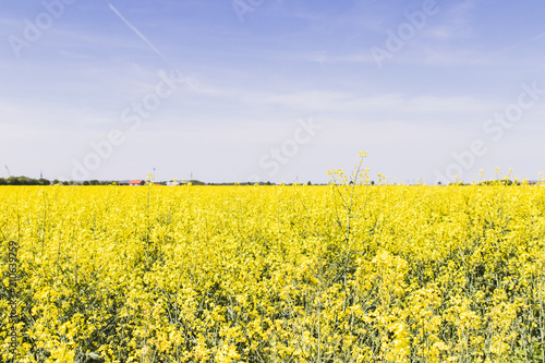 Poster Platteland Rapeseed field with blue sky