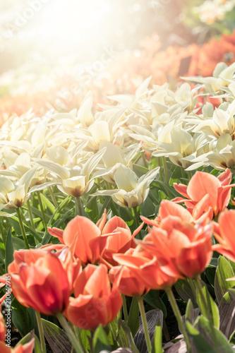 Foto op Canvas Azalea Many beautiful tulips