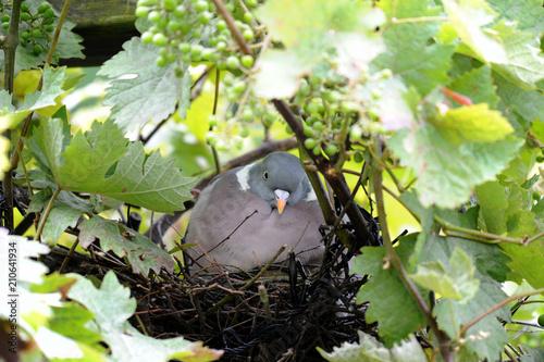 Brütende Taube in den Weintrauben