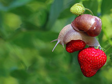 Snail Creeping On Red Ripe Str...