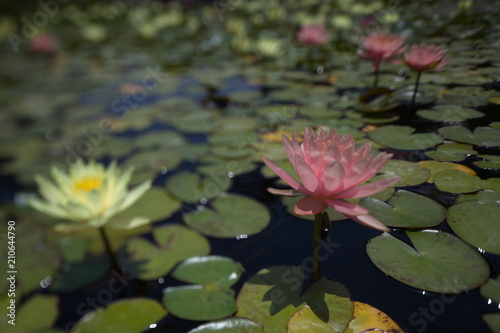 Poster de jardin Nénuphars multi-colored water lilies tropical swimming in a pond in summer