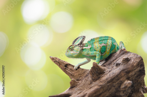 Tuinposter Kameleon Green chameleon camouflaged by taking colors of its natural background. Tropical animal on natural tree.